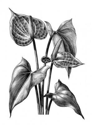 Poster Anthurium botânica vintage gravura ilustração clip art isolado no fundo branco