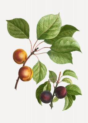Poster Apricots and plums