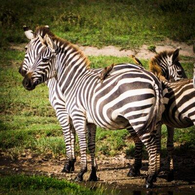 Poster Aves oxpeckers obter comida comendo piolhos sobre as zebras Africano e eles obter o controle de pragas