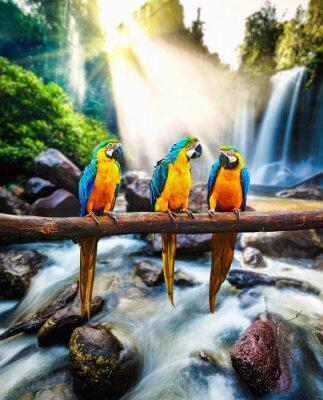 Poster Azul-e-amarelo Macaw Ara ararauna