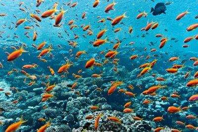 Poster Banco de areia, Anthias, peixe, Coral, recife