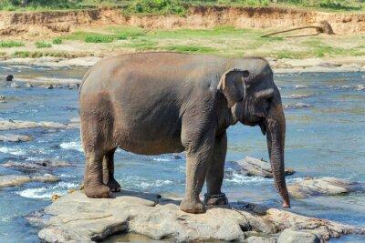 Poster Banho de elefantes no rio Sri Lanka