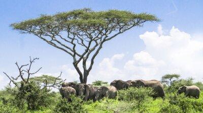 Poster Bebê, elefante, alcançando, cima, dela, rebanho, elefantes, ficar, sob, acácia, árvore, Serengeti, savana, paisagem