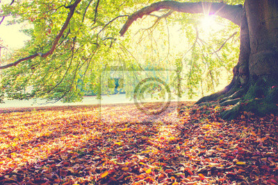 Poster Beech Tree in fall