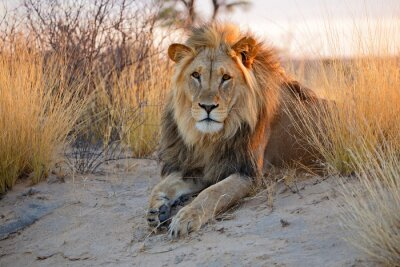 Poster Big leão Africano masculino, deserto de Kalahari