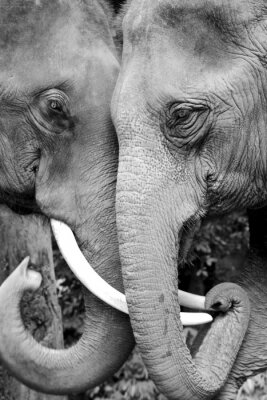 Poster Black and white close-up photo of two elephants being affectionate.