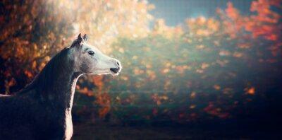 Poster Bonito, árabe, cavalo, branca, cabeça, maravilhoso, natureza, fundo