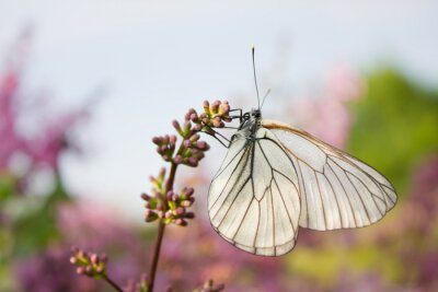Poster Bonito, borboleta, sentando, flores, lilás