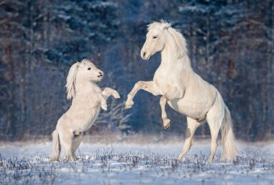Poster Bonito, branca, andaluz, garanhão, tocando, pequeno, shetland, pônei, inverno