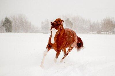 Poster Bonito, castanha, cavalo, Executando, neve, campo, livre