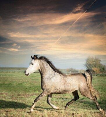 Poster Bonito, cinzento, garanhão, cavalo, Executando, solto, sobre, pasto, fundo