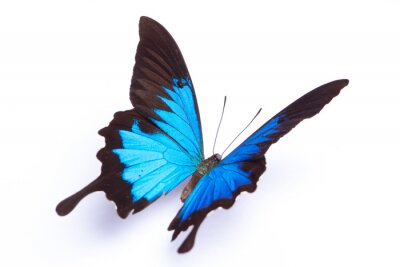 Poster Borboleta azul e colorido no fundo branco