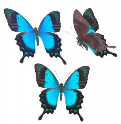 Poster Borboleta verde do Swallowtail do mar