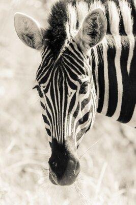 Poster Cabeça da zebra Retrato da Vida Selvagem Preto Vintage Branco
