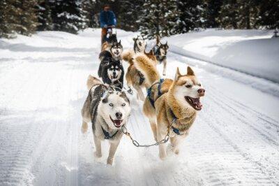 Poster cães de trenó
