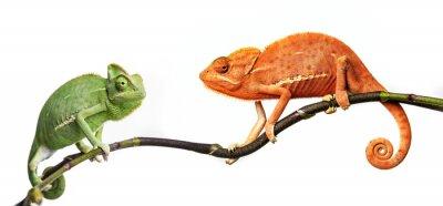 Poster camaleão - Chamaeleo calyptratus em um galho