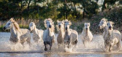 Poster Camargue branco Os cavalos funcionam na reserva de natureza dos pântanos. Parc Regional de Camargue. França. Provence. Uma ótima ilustração