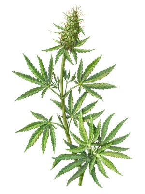 Poster Cannabis Female Plant Pencil Illustration Isolated on White