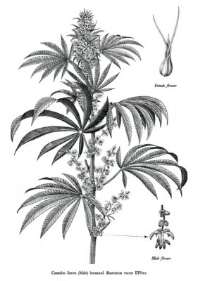 Poster Cannabis sativa male tree botanical vintage engraving illustration black and white clip art isolated on white background