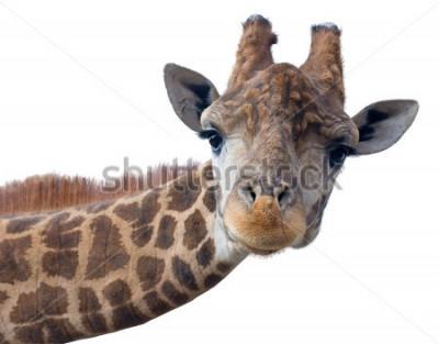 Poster Cara de cabeça de girafa isolada no fundo branco