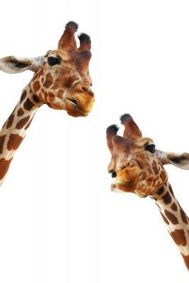 Poster Casal de girafas retrato do close up isolado no fundo branco