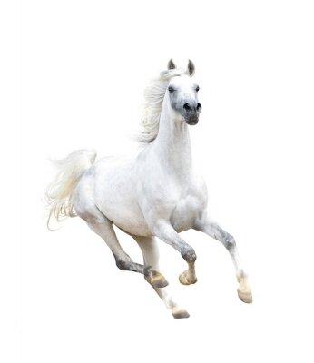 Poster Cavalo árabe branco isolado no branco