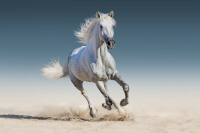 Poster Cavalo branco galopar corrida