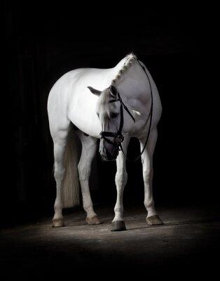 Poster Cavalo branco no fundo preto