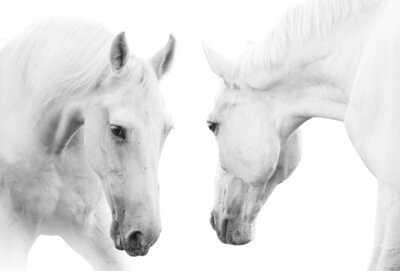Poster cavalos brancos