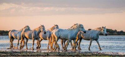 Poster Cavalos brancos de Camargue estão na reserva de natureza dos pântanos. Parc Regional de Camargue. França. Provence. Uma ótima ilustração