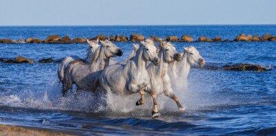 Poster Cavalos brancos de Camargue que galopam ao longo da praia do mar. Parc Regional de Camargue. França. Provence. Uma ótima ilustração