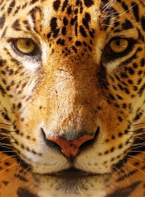 Poster Close-up disparou de um leopardo lindo