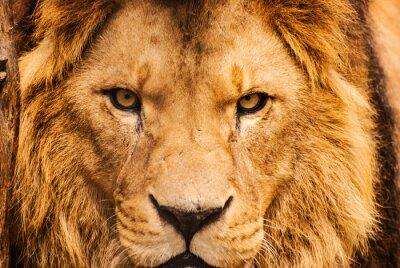 Poster Close-up, retrato, africano, leão