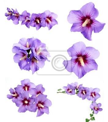 Coleta de flores de hibisco cartazes para a parede • posters hibisco ...