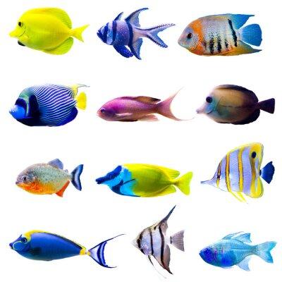 Poster Coleta de peixes tropicais