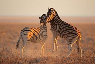 Poster Combate as zebras das planícies, Etosha National Park