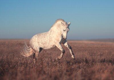 Poster Corrida de cavalos brancos