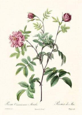 Poster Criado por PR Redoute, publicado em Les Roses, Imp. Firmin Didot, Paris, 1817-24