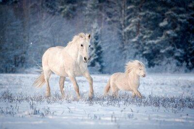 Poster Dois, branca, cavalos, Executando, campo, Inverno