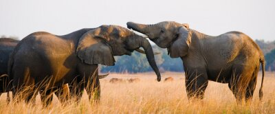 Poster Dois elefantes que jogam com se. Zâmbia. Baixa Zambeze National Park. Rio Zambeze. Uma excelente ilustração.