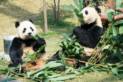 Poster Dois, pandas, comer, bambu
