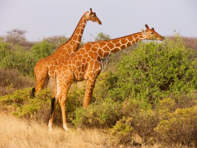 Poster Dois, reticulated, girafa, comer, folhas, arbustos