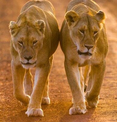 Poster Duas leoas que andam na estrada no parque nacional. Quênia. Tanzânia. Maasai Mara. Serengeti. Uma excelente ilustração.