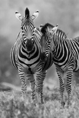 Poster Égua e potro da zebra de pé juntos no mato para a segurança de um