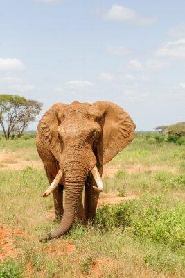 Poster elefante