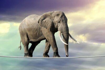 Poster Elefante andando em uma corda
