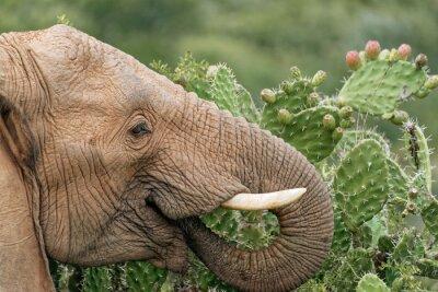 Poster Elefante, comer, espinhoso, pêra