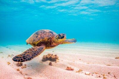 Poster Em perigo de cruzeiro havaiano verde tartaruga de mar nas águas quentes do Oceano Pacífico no Havaí