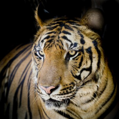 Poster Feche acima do tigre