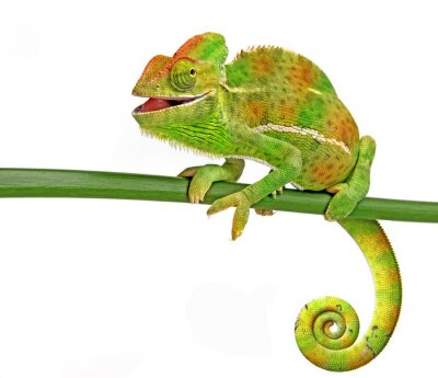 Poster feliz camaleão